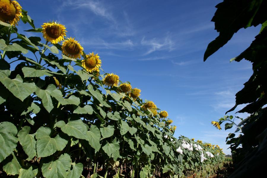 Olej słonecznikowy to jeden z rodzajów biopaliw.