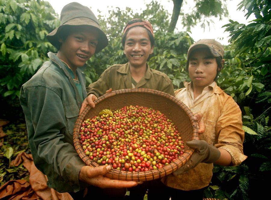 Zbiór ziaren kawy w Indiach