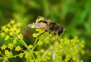 Pszczoła fot. sxc.hu