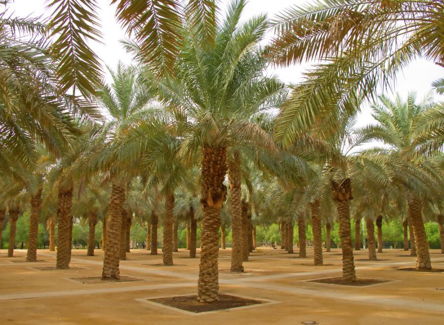 Ogród palmowy w Rijadzie, stolicy Arabii Saudyjskiej. Fot. Shutterstock.