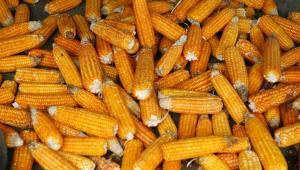 Kukurydza jest jednym z bardziej popularnych źródeł biopaliw.