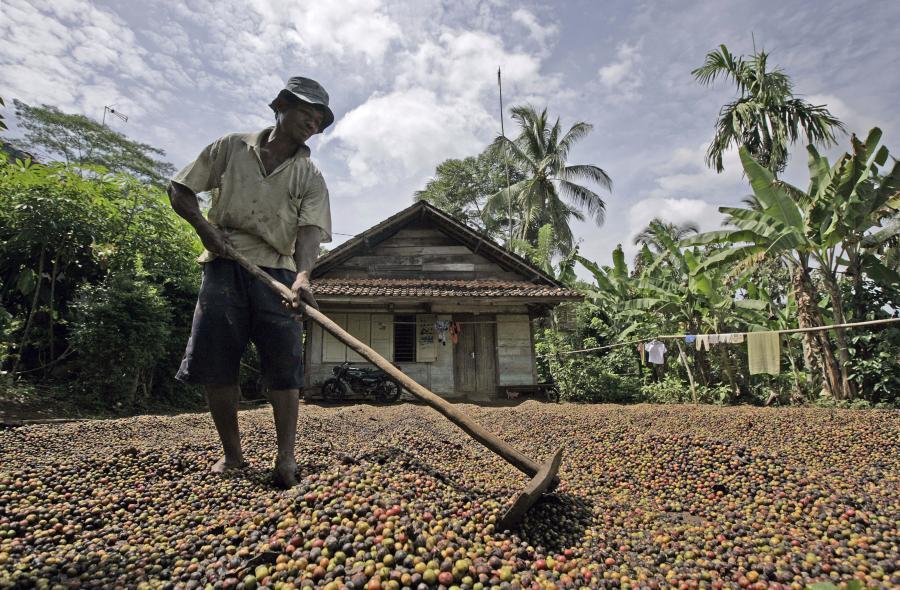 Indonezyjskie obligacje osiągnęły rekordowo niską rentowność. Nz. Plantacja kawy w Indonezji