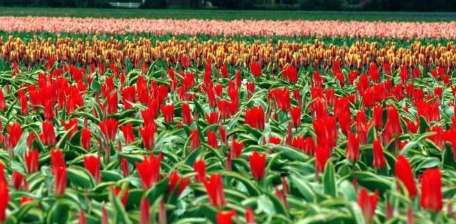 tulipany, Holandia