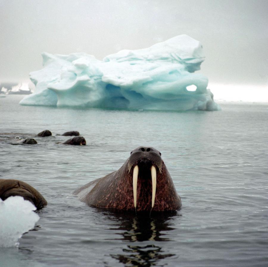 Mors w poblizu Wyspy Spitsbergen. Fot. Bloomberg