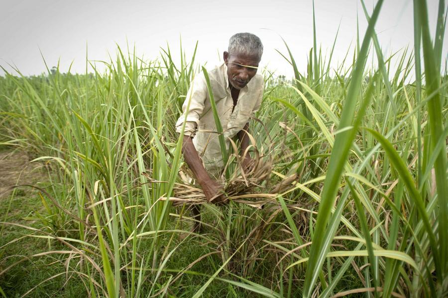 Plantacja trzciny cukrowej w Indiach