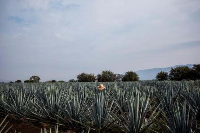 Kapelusz na agawach niebieskich rosnących w Tequili w Meksyku
